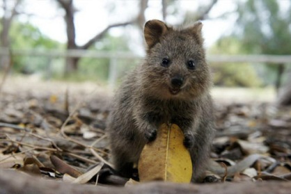 Any excuse to use a picture of a quokka will do, so here's one I prepared earlier.